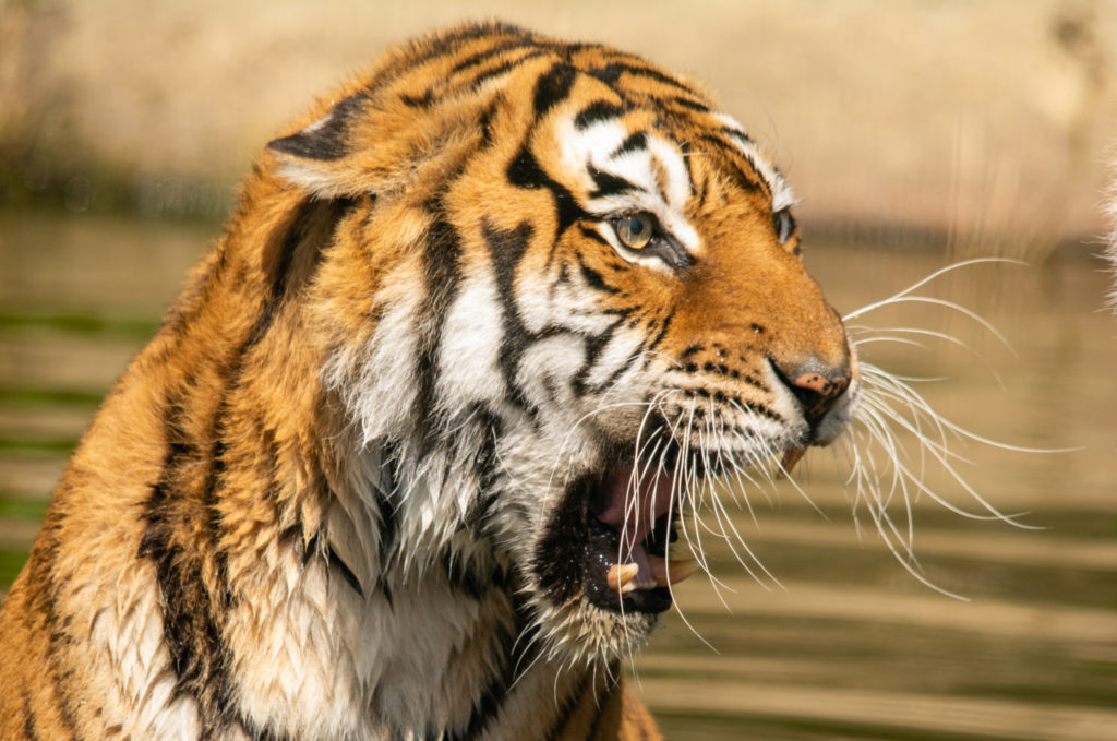 beautiful image of a roaring tiger by Charl Baillie