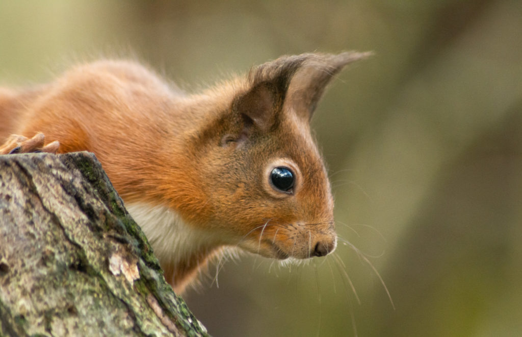 Beautiful image of a red squirrel taken by Charl.